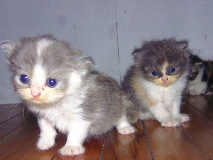 Published 24/02/2011 at 720 × 540 in Jual Kucing Persia